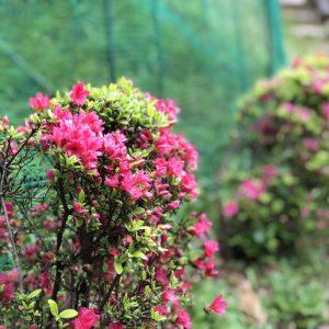 こころねの庭のつつじとブルーベリーが咲き始めました。